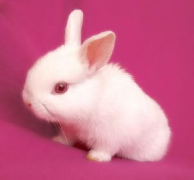 Aries Suitable Pet Rabbit